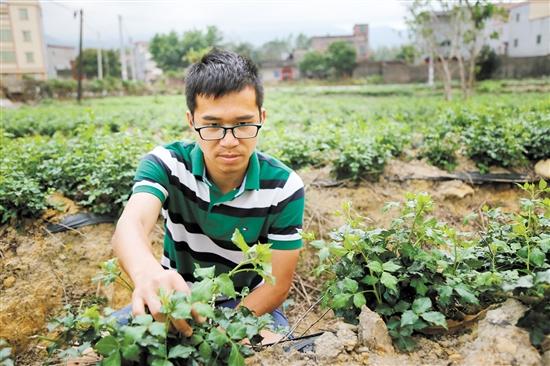 李劲新希望的簕菜产业能和陈皮产业一样蓬勃发展。