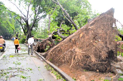 路边大树被连根拔起