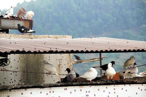 在翠园里5号楼,有一户人家在9楼楼顶搭棚养了百来只鸽子,壁纸每天飞来蝙蝠鸽子图片