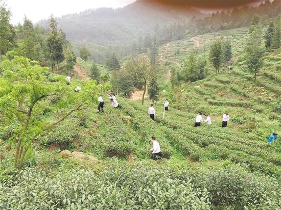 鹤山农商银行在古劳茶山生态园开展团建活动.