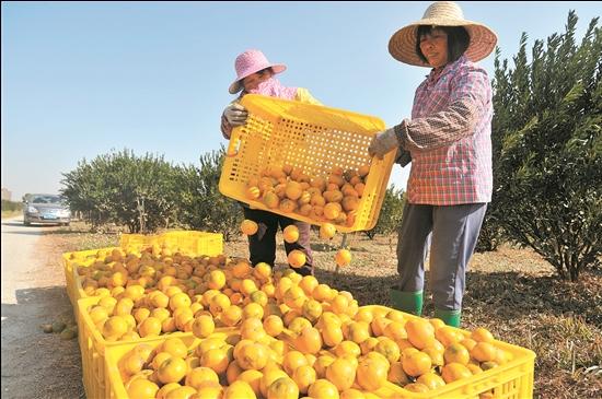 2019年新会陈皮产业迎来丰收年,图为农户忙着采摘新会大红柑。