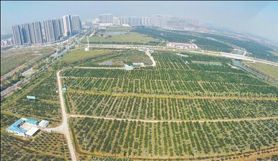 新会区新会柑种植面积达10万亩,2019年行业年产值近70亿元,新会陈皮品牌总价值突破100亿元。
