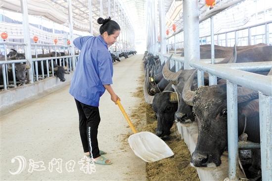 为巩固脱贫攻坚成效,鹤山、龙州两地谋划发展了一批产业项目,包括从鹤山引进甘牛极速分3d发展蔗叶养牛,助力贫困户增收。